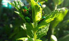 Chrysolina herbacea nella menta (Marty_0722) Tags: life plant verde green nature leaves fauna foglie insect flora mint insects natura vita insetti pianta menta chrysolina herbacea