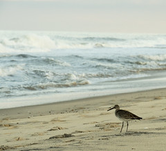 Surf Observer (Cocoabiscuit) Tags: ocean bird beach evening olympus shore delaware sandpiper bethanybeach em5 cocoabiscuit