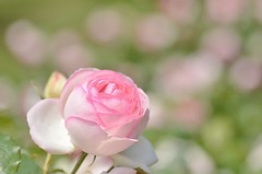 "rose, ""Pierre de Ronsard"" (snowshoe hare*(slow)) Tags: flowers rose pastel botanicalgarden バラ dsc1000 pierrederonsard frenchrose ピエール・ド・ロンサール 海の中道海浜公園"