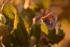 Small Heath Butterfly (Leela Channer) Tags: light sunset france colour macro nature grass closeup butterfly insect evening oak bokeh meadow goldenhour gard garrigue holmoak quercusilex evergreenoak coenonymphapamphilus smallheathbutterfly hollyoak