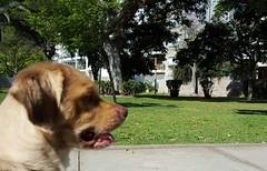 Lima - Parque Eduardo Villena Rey (Santiago Stucchi Portocarrero) Tags: parqueeduardovillenarey miraflores lima perú santiagostucchiportocarrero hund perro can cane chien dog hound