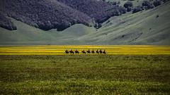 Riding the yellow (Galep Iccar) Tags: horses horse yellow canon landscape giallo paesaggi cavalli cavallo paesaggio umbria norcia piana castellucciodinorcia