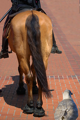 Rear View (swong95765) Tags: horse brick uniform order ride seagull gull police mounted law