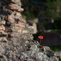 e rinasce un fiore (robra shotography []O]) Tags: rome roma square ruins poppy rovine papavero