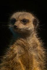 Meerkat Portrait (jonathan.scaife81) Tags: portrait black st canon aquarium meerkat key andrews feeding fife low standrews tamron 28300mm bacground 6d 28300 tamron28300