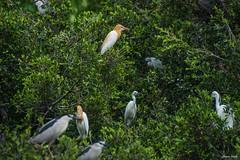 () - Bubulcus ibis - National Chung Hsing University - Taichung City (prince470701) Tags: taiwan blackcrownednightheron bubulcusibis  sigma70300mm   taichungcity  nationalchunghsinguniversity sonya99