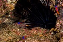 bbgobyApr30-16 (divindk) Tags: ocean sea color marine underwater catalinaisland spines reef urchin seaurchin underwaterphotography bluebandedgoby lythrypnusdalli catalinagoby diverdoug casinopointdivepark