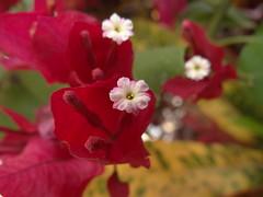 DSC04071 (familiapratta) Tags: flowers flores flower nature iso100 sony natureza flor hx100v dschx100v