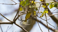 7K8A8787 (rpealit) Tags: bird nature yellow scenery wildlife area warbler hatchery pequest