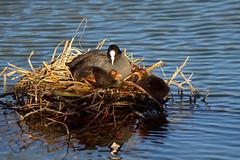 DSC05839_DxO-1600Q96N_2 (Franck Zumella) Tags: nid eau chick reflet nourriture coot poussin foulque