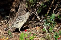 IMG_4136 (Dan Armbrust) Tags: australia queensland cannon weipa australianbirds armbrust bowerbirds danarmbrust