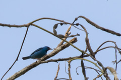 Day 2 Blue Dacnis  (male) 2_14_16 (1 of 1) (LWallace2) Tags: birds panama bluedacnis