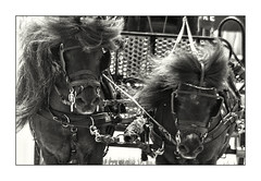 Bad Hair Day (Andy Gant) Tags: horses bw pony ponies bwphotography horsepower bweffect bwimages ponyracing bwimagesfromaroundtheworld