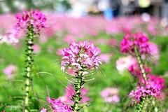 2016060808 (Yo Nguyen) Tags: cleome spiderflowers dalatcity hoatyip