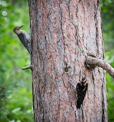 Baby Woodpeckers!! (Wild Birdy) Tags: woodpeckers woodpecker mn minnesota usa aba laporte northwoods kabekona baby cute little adorable immature melanerpescarolinus mcarolinus picoidesvillosus pvillosus hairy hairywoodpecker redbelliedwoodpecker redbellied