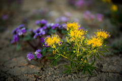 wildflowers at capitol reef national park (Sam Scholes) Tags: wildflower capitol reef national park southern utah wildflowers nature plant purple yellow plants capitolreef capitolreefnationalpark nationalpark southernutah