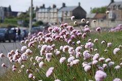 Elie (a-r-a-55) Tags: flowers flower scotland blumen elie schottland grosbritannien