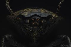 Darkling Beetle (TBD) (Yousef Al-Habshi) Tags: yousef al habshi darkling beetle macro insect bug uae abu dhabi nikon