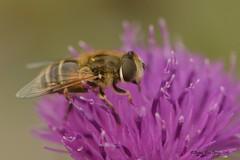 zweefvlieg (Agnes Van Parijs) Tags: insect bloemen vlieg zweefvlieg