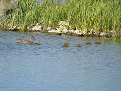 Ducklings (stuartcroy) Tags: duck duckling diving orkney island water weather loch harray harrayloch merkister beautiful bay green grass