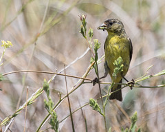 Lesser Goldfinch (J.B. Churchill) Tags: birds ca california finches fringillidae lego lessergoldfinch places ranchocuyamacasp sandiego taxonomy julian unitedstates us