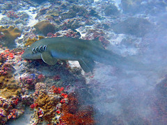 Brown-banded Bamboo Shark (6) (Petter Thorden) Tags: indonesia diving