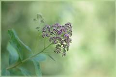 Soft (gewoon-marieke) Tags: green nature garden nikon soft bokeh