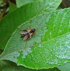 Dry Fly (Bricheno) Tags: macro bug insect scotland fly glasgow escocia szkocja schottland scozia cosse dalmarnock  esccia   bricheno scoia