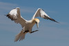 Northern Gannet landing (vagabond05) Tags: island breeding northern bonaventure colony gannet gaspepeninsula canada2016