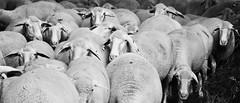 Schafherde - Sheep herd (Lala89_Photos) Tags: blackandwhite nature animals tiere sheep natur herd schafe herde schwarzweis schafherde