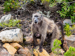 Chacma Baboon with baby (xrxss15) Tags: africa animalia animals brenpavian capepoint capetown cercopithecidae chacmababoon jungtier kapstadt mammals monkeys papioursinus southafrica sugetiere tiere westerncape immature juvenile