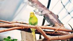P6281041 (yuurei) Tags: woodlandparkzoo wpz budgie bird