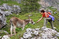 somarello Margot (Franco Vannini) Tags: dolomiti dolomites odles sassrigais fermeda seceda valgardena valdifunes odle pieralongia somarello donkey asinello