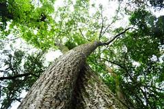 Arvore (marcusviniciusdelimaoliveira) Tags: arvore tronco galhos folhas natureza casca textura rvore planta parque vegetao mataatlntica