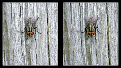Nowhere Else I Wood Rather Be ! - Crosseye 3D (DarkOnus) Tags: sarcophagidae flesh fly pennsylvania buckscounty huawei mate8 cell phone 3d stereogram stereography stereo darkonus closeup macro insect nowhere else i wood rather be crossview crosseye