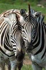 Zebra Love - Equus quagga (seb-artz) Tags: zebra love equus quagga nikon d7100 animal zoo wildlife mammal couple nautre