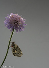 Marbled White on Scabious (predman69) Tags: marbledwhite poldenhills poldens somerset butterly scabious purple white black red mites dew