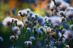 Canada thistle field (elenashen5) Tags: field weed canadathistle