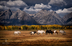 tetons_2016_22web (Jessica Haydahl Photography) Tags: grand teton national park wyoming tetons mormon row john molton barn apsens fall colors infrared photography nikon d810 d7000 pentax 645z medium formate landscape ansel adams