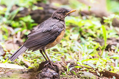 UN TESSITORE    ----    EXPLORE (Ezio Donati) Tags: animali animals natura nature nikond810 africa cameroun yaoundearea uccelli birds forsta forest alberi trees