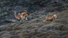 _NGR1820Salto-puma (ninograngetto@hotmail.com) Tags: chile puma torresdelpaine patagonia nikon