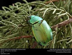 Wood's Jewel Scarab (Scarabaeidae, Chrysina woodi) (insectsunlocked) Tags: coleoptera scarabaiedae chrysina chrysinawoodi cwoodi woodsjewelscarab