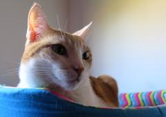 584-August'16 (Silvia Inacio) Tags: tess tabby cats gatos gata cat
