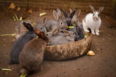 Look Casual (D-Adams) Tags: pumpkin patch aurora oregon rabbits bunny ears d7100 nikon animals animal eating apple celery farm october cloudy day dirt portrait outdoors outdoor cute fur furry rabbit bunch eat cage