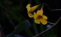 Flor - Flower   /   TrilhaPedraSanta_0298 (Copy)crop (Joo Batista**) Tags: flor flower natureza nature