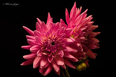 Floral Astonishment 1008 Copyrighted (Tjerger) Tags: nature beautiful beauty black blackbackground bloom bud closeup fall flora floral flower green macro petals pink plant portrait wisconsin yellow dahlia astonishment natural