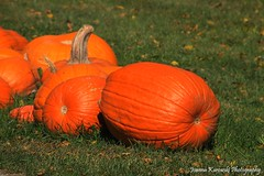 Pumpkins (Joanna Kurowski Photography) Tags: pumpkins orange greengrass vibrant colors nature outdoors harvest fall autumn canon joannakphotos