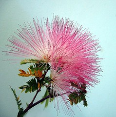 Sparkler (Mary Faith.) Tags: pink flower macro nature stamen sparkler spikes silktree albizia greatshots topshots mixedflowers masterphotos photosandcalendar flowersarebeautiful excellentsflowers natureselegantshots wonderfulworldofflowers exquisiteflowers mimamorflowers flickrflorescloseupmacros panoramafotografico theoriginalgoldseal mygearandme flickrportal boufcontest14mar11