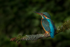 R14_9982 (ronald groenendijk) Tags: tree bird nature netherlands birds wildlife nederland vogels natuur kingfisher tak vogel 2014 alcedoatthis ijsvogel martinpcheur ronaldgroenendijk cronaldgroenendijk