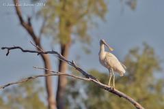 Yellow-billed Spoonbill (Platalea flavipes) (Jeluba) Tags: bird nature horizontal wildlife australia aves ornithology birdwatching oiseau australie 2014 yellowbilledspoonbill plataleaflavipes spatuleàbecjaune gelbschnabellöffler